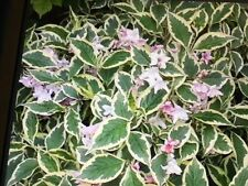 Weigela Partial Shade Shrubs & Hedges