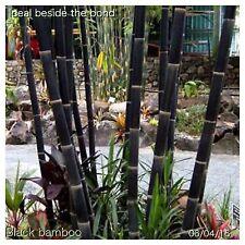 50+ Black Bamboo Seeds Phyllostachys Nigra Plants