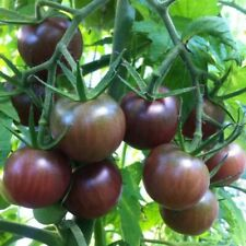 30 Graines De Tomate Cerise Noir - Méthode Bio