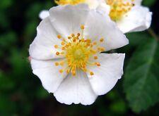 Rosa multiflora - Multiflora Rose - 50 Seeds