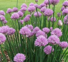 Chives - 1000 Seeds - Allium Schoenoprasum - Culinary Herb