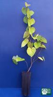 Cercis Chinensis Vq 9x9x20 1 Pflanze 1 Plant Chinesisch Redbud