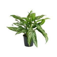 "Aglaonema Silver Queen Live Plant Low Light 6"" Pot Indoor Houseplant"