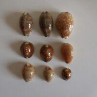 9 coquillages gastéropodes mer océan marron blanc collection décoration N4727