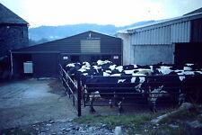 Vintage Kodak Kodachrome Slide Negative Cows In Farm, Factory Farming, Milking