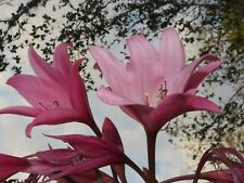 Crinum Lily, Claude Davis, large, blooming-size bulb, NEW