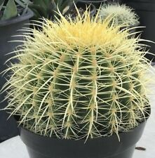 "Echinocactus Grusonii ""Golden Barrel""  9""+ Diameter including spines"