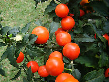 Jerusalem cherry / Winter Cherry / Christmas Cherry Ornamentl seeds(20Nos) X-023