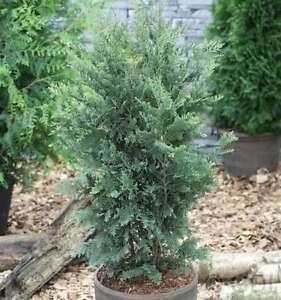 Grün Blaue Scheinzypresse 100-125cm - Chamaecyparis lawsoniana