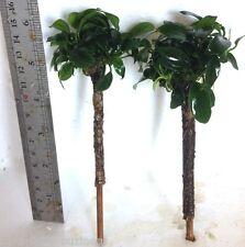 """Palm Tree """"Anubias Barteri Nana"""" Tropical Live Aquarium Plant jave"""