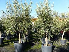 winterharte, kompakte, robuste Olive, 170 - 180 cm Olivenbaum, beste Qualität