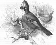 BIRDS. Raven. Common Jay c1870 old antique vintage print picture