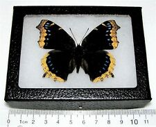 Nymphalis antiopa Real Framed Butterfly Mourning Cloak California