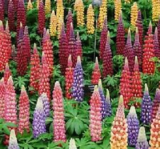 F0418 Russell Lupin Mix x20 seeds