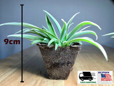 Ocean Spider Live Plant Easy to Grow Cleans the Air Hanging Basket Pot Indoor