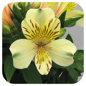 Alstroemeria Inca 'Sundance' Jumbo Plug Plant Perennial Peruvian Lily