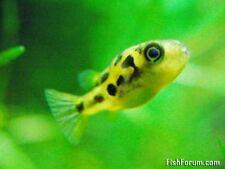 Dwarf Yellow Puffer Freshwater Fish (Carinotetraodon travancoricus)