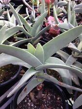 """CRASSULA FALCATA """"Propellor Plant"""" Unusual Large Succulent Cactus Plant"""