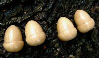 4 oak acorn light pulls or cord pulls 4cm long