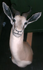 kapitale Impala Antilope Springbock Kopfpräparat Geweih ohne Schild, Jagdtrophäe