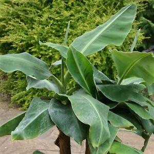 Musa Dwarf Cavendish Edible Banana Young Plant in 9cm pot x 3 Plants/ Pots