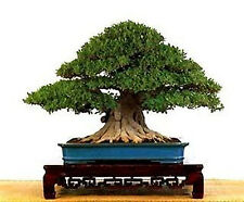 Weeping Fig (Ficus benjaminia) - 150 Seeds Bonsai or Feature