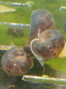 20 Ramshorn Snails Mature Breeder Snails Live Loach Food Pufferfish Med Lg Mix🐌