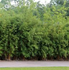 10 x Green Hedge Bamboo plants 100mm Maxi pots. Clumping screening hedge.