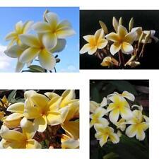 "2 Pack Live Plants Tropical Yellow Plumeria Cuttings Hawaiian Plant 9""-12"" inche"