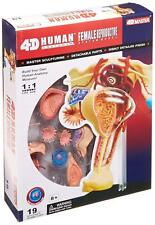 Modello apparato riproduttivo femminile modellino medicina anatomia anatomico