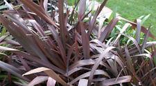 Phormium tenax  purpureum 10 seeds