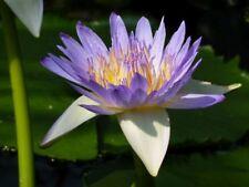 1 Extrait Nymphaea Caerulea Bleu Lotus 5g Bleu Lotus 100