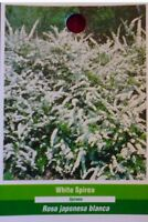 White Spirea Flower Hedge Bush Flowers Blooms Plant Easy Grow Live Plants Now