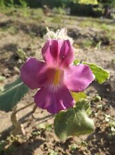 Lila Proboscidea  - devil's claw - 5+ Samen Exotik für Anfänger