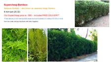 Supercheap Bamboo - Bambusa Multiplex (Japanese Hedge) 20cm pot (8 inch)