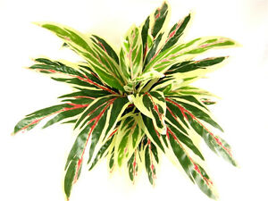 Artificial Silk Dracaena Plant ~ Flat Pack ~ House Plant