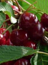'Van' Cherry Tree 4-5ft tall, Large, Dark Red, Sweet & Juicy Cherries