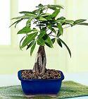 Money Tree Bonsai Live Plant w/ Ceramic Pot Good Luck Tree Feng Shui 6+ y.o.