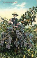 DB Postcard CA D443 In a California Vineyard Neurmans Germany Man with Grapes