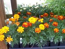 200 Sparky Mix French Marigold Seeds PLANT SEEDS