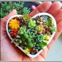 100 MIX  Sempervivum Plants  Seeds Garden Succulents Cactus Bonsai Perennial