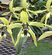 Coelogyne South Carolina Fragrant Orchid Blooming Size Plant 1