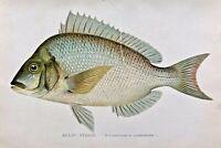 1901 RARE Antique DENTON FISH Print SCUP, PORGY Stenotomus chrysops VERY NICE!