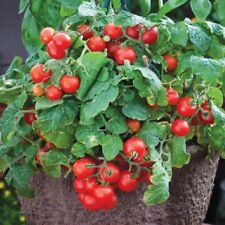 """30+TINY TIM DWARF PATIO TOMATO Seeds16""""Plant Hanging Baskets Containers Garden"""