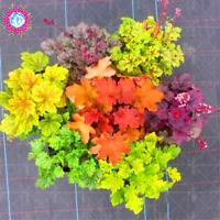 Heuchera Micrantha Rainbow Leaf 100 Pcs Seeds Plants Grass Coleus Bonsai Flowers
