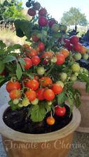 10 graines de tomate naine précoce Tiny Tim idéale pour la culture en pot m.bio