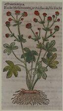 JOHN GERARD BOTANICA MATTHIOLI 1597 ASTRANTIA NIGRA FIORI PIANTE