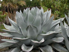 Whale's Tounge Century Plant = Agave Ovatifolia = 5 Seeds = RARE = EXOTIC =