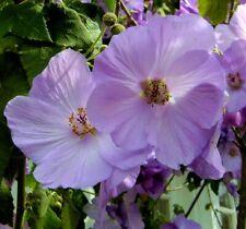 ABUTILON VITIFOLIUM, INDIAN MALLOW  20 seeds