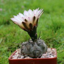 Gymnocalycium gibbosum var. chubutense 10+ seeds rare cactus